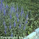 Polsterveronika Blaufuchs - Veronica spicata - Vorschau