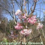 Winterschneeball Dawn 80-100cm - Viburnum bodnantense