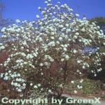 Osterschneeball 30-40cm - Viburnum burkwoodii