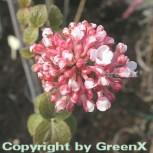 Großblumiger Duft Schneeball 40-60cm - Viburnum carlcephalum - Vorschau