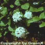 Koreanischer Duftschneeball 30-40cm - Viburnum carlesii
