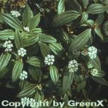 Immergrüner Zwergschneeball 25-30cm - Viburnum davidii - Vorschau