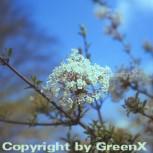 Winter Duftschneeball 60-80cm - Viburnum farreri