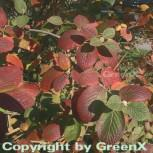 Wolliger Schneeball 100-125cm - Viburnum lantana - Vorschau
