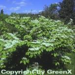 Etagen Schneeball Mariesii 30-40cm - Viburnum plicatum - Vorschau