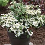 Japanischer Schneeball Summer Snowflake 60-80cm - Viburnum plicatum - Vorschau