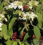 Gefüllter Schneeball Watanabe 30-40cm - Viburnum plicatum - Vorschau