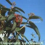 Immergrüner Zungen Schneeball 40-60cm - Viburnum rhytidophyllum