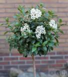Hochstamm Mittelmeer Schneeball 60-80cm - Viburnum tinus - Vorschau