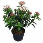 Mittelmeer Schneeball Lisa Rose 30-40cm - Viburnum tinus