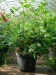 Mittelmeer Schneeball 40-60cm - Viburnum tinus