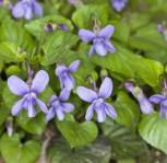 Wald Veilchen - Viola reichenbachiana - Vorschau