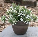 Weigelie Black and White 25-30cm - Weigela florida