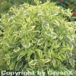Buntblättrige Weigelie 40-60cm - Weigela florida