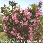 Purpurweigelie 60-80cm - Weigela florida