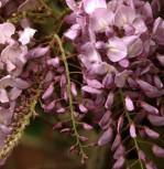 Blauregen Rosea 125-150cm - Wisteria floribunda