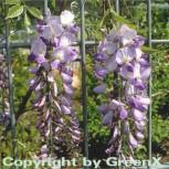 Chinesischer Blauregen 40-60cm - Wisteria sinensis - Vorschau