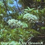 Gelbhorn 30-40cm - Xanthoceras sorbifolium