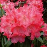 Hochstamm Rhododendron Morgenrot 60-80cm - Alpenrose
