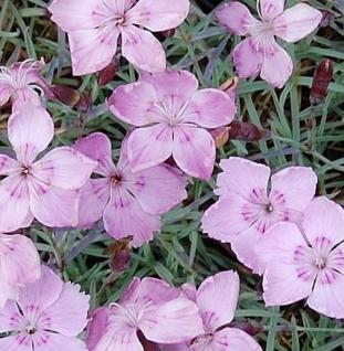 Pfingstnelke Nordstjernen - Dianthus gratianopolitanus - Vorschau