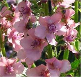Königskerze Pink Domino - Verbascum Hybrid - Vorschau