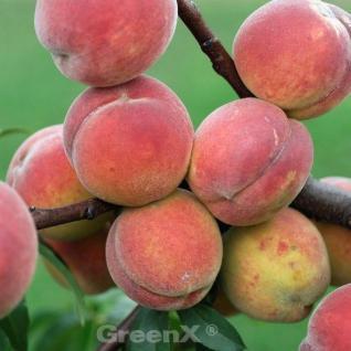 Pfirsich Dixired 60-80cm - Prunus persica - Vorschau