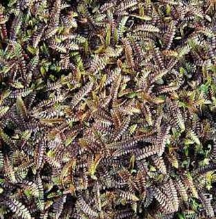 Dunkles Fiederpolster Platt's Black - Leptinella spualida - Vorschau