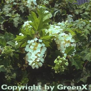 Eichenblättrige Hortensie 125-150cm - Hydrangea quercifolia - Vorschau