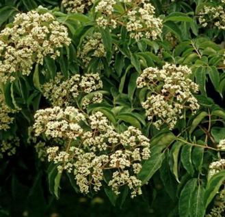 Bienenbaum 80-100cm - Euodia hupehensis - Vorschau