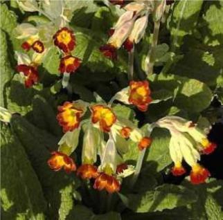 Echte Schlüsselblume Sunset Shades - Primula veris - Vorschau