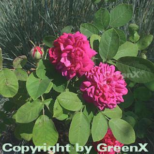 Historische Rose De Resht 30-60cm - Vorschau