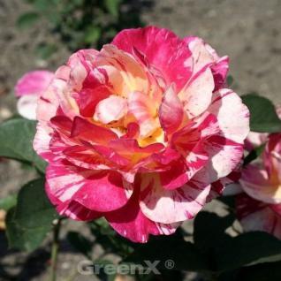 Malerrose Maurice Utrillo® 30-60cm - Vorschau