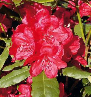 Großblumige Rhododendron Hachmanns Feuerschein® 40-50cm - Alpenrose - Vorschau