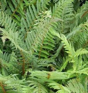 Weicher Schildfarn Wollaton - Polystichum setiferum - Vorschau