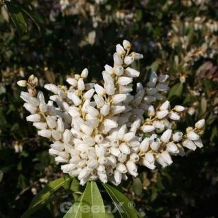 Schattenglöckchen Lavendelheide Purity 25-30cm - Pieris japonica - Vorschau