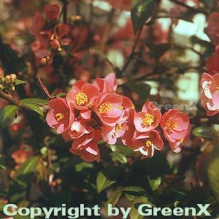 Zierquitte Pink Trail 40-60cm - Chaenomeles - Vorschau