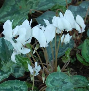 Herbst Alpenveilchen Perlenteppich - Cyclamen hederifolium - Vorschau