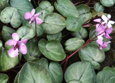 Frühlings Alpenveilchen Silber Leaf - Cyclamen coum - Vorschau