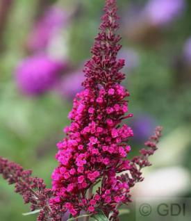 Schmetterlingsstrauch Buzz Hot Raspberry 30-40cm - Buddleja - Vorschau