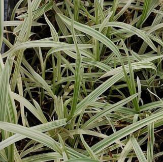 Wasserschwaden Variegata - Glyceria maxima - Vorschau