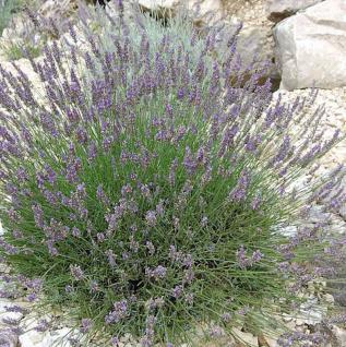 Lavendel Grosso - Lavandula intermedia - Vorschau