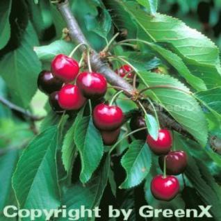Süßkirsche Burlat 60-80cm - dunkelrote süße Früchte - Vorschau