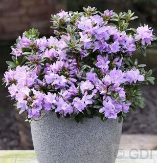 Zwerg Rhododendron Blaue Mauritius 30-40cm - Rhododendron impeditum - Zwerg Alpenrose - Vorschau