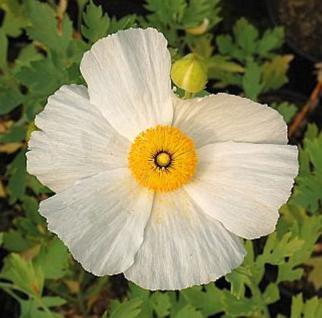 Kalifornischer Baummohn - Spiegeleipflanze - Romneya coulteri - Vorschau