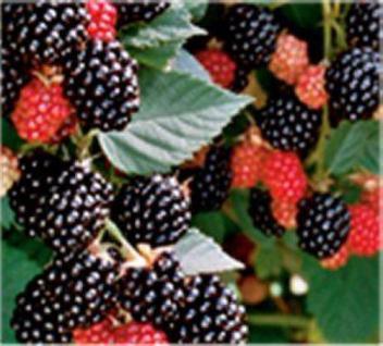 Brombeere Chester - Rubus fruticosus - Vorschau
