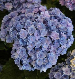 Bauernhortensie You&Me Together 60-80cm - Hydrangea macrophylla - Vorschau