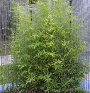 Gartenbambus 100-125cm - Phyllostachys bissetii - Vorschau