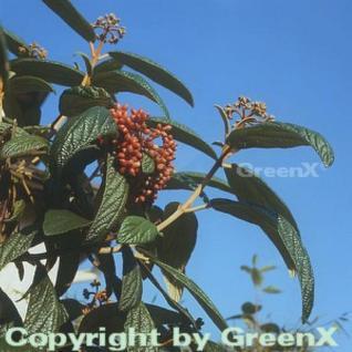 Immergrüner Zungen Schneeball 80-100cm - Viburnum rhytidophyllum - Vorschau