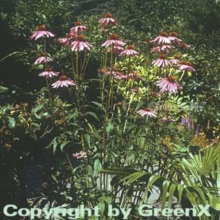 Roter Sonnenhut - Echinacea purpurea - Vorschau