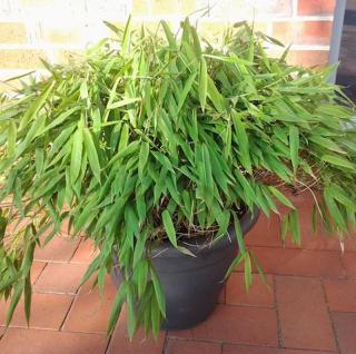 Mini Bambus Luca 20-30cm - Fargesia murielae - Vorschau